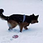 Psi kaszel – a więc ubierać czy nie? Testujemy psie kurtki