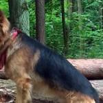 Pies w lesie - na smyczy?