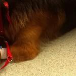 Psi Dawca Krwi