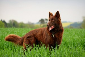 german_shepherd_by_kayino1234-d4zc1xh