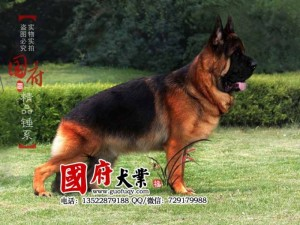 giant-chinese-german-shepherd-39330