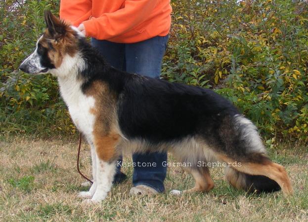 panda-german-shepherdi-love-dogs-and--pastor-alem--o-panda-e-outros-cores-raras-zcuarx4s