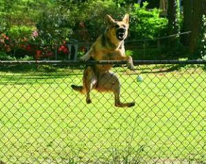 pies-przeskakuje-plot