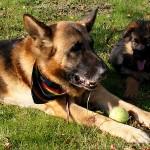 Siad i waruj – jak psy się od siebie uczą