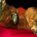 Pies kanapowy – psia anegdota '5