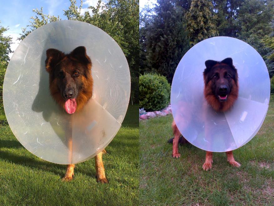 pies w kołnierzu