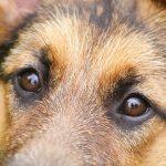 Psie koszmarki