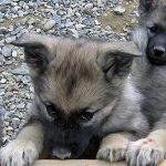 Jak wybrać idealnego szczeniaka – testy dla szczeniąt