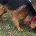 Świąteczna kaczka – psia anegdotka '4
