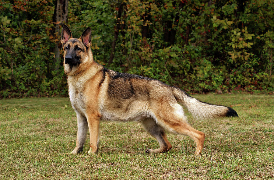 beautiful-sable-german-shepherd-sandy-keeton