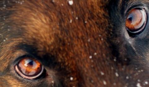 Choroby oczu u owczarków