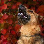 Kundel bury – fajny pies!