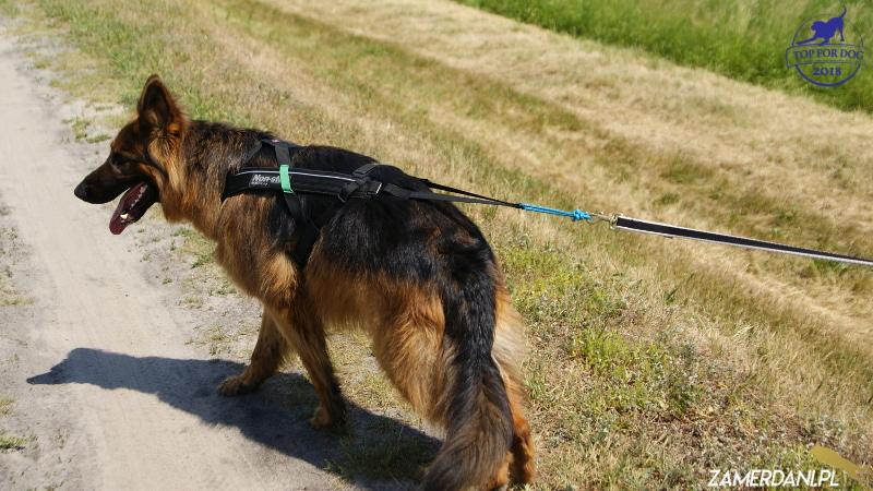 Owczarek niemiecki spaceruje w szelkach Non-stop-dogwear