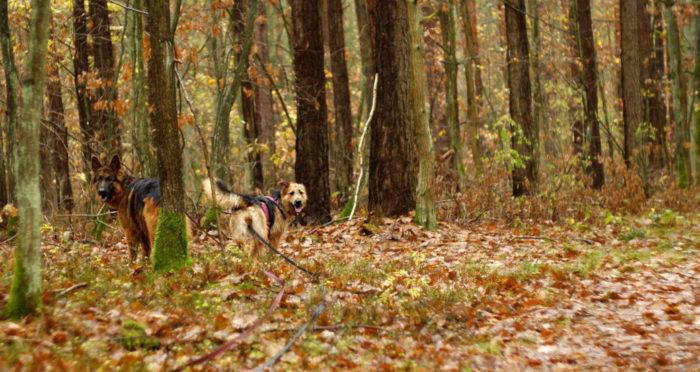 Bądź odpowiedzialny, prowadź psa w lesie na smyczy.