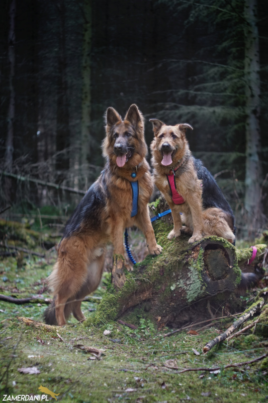 Pies w lesie - na smyczy lub lince